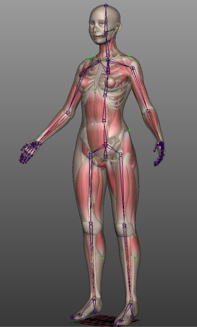 анатомическая модель скилета с мышцами для анимации