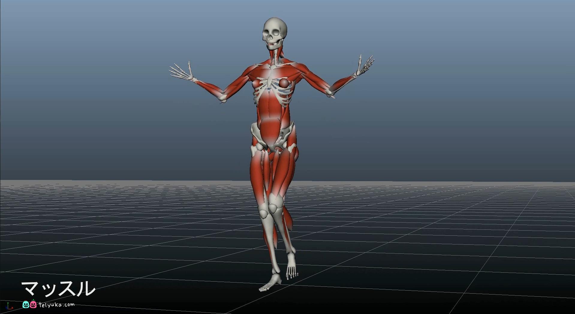Анатомический скилет с мышцами для анимации, скриншот из 3DSMax